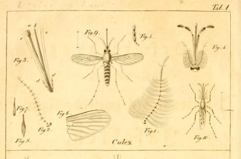 Ilustración de Meigen.